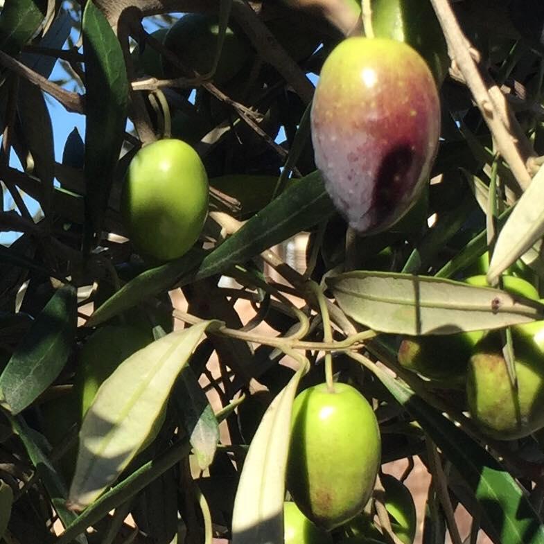 Goryan Olive Estate