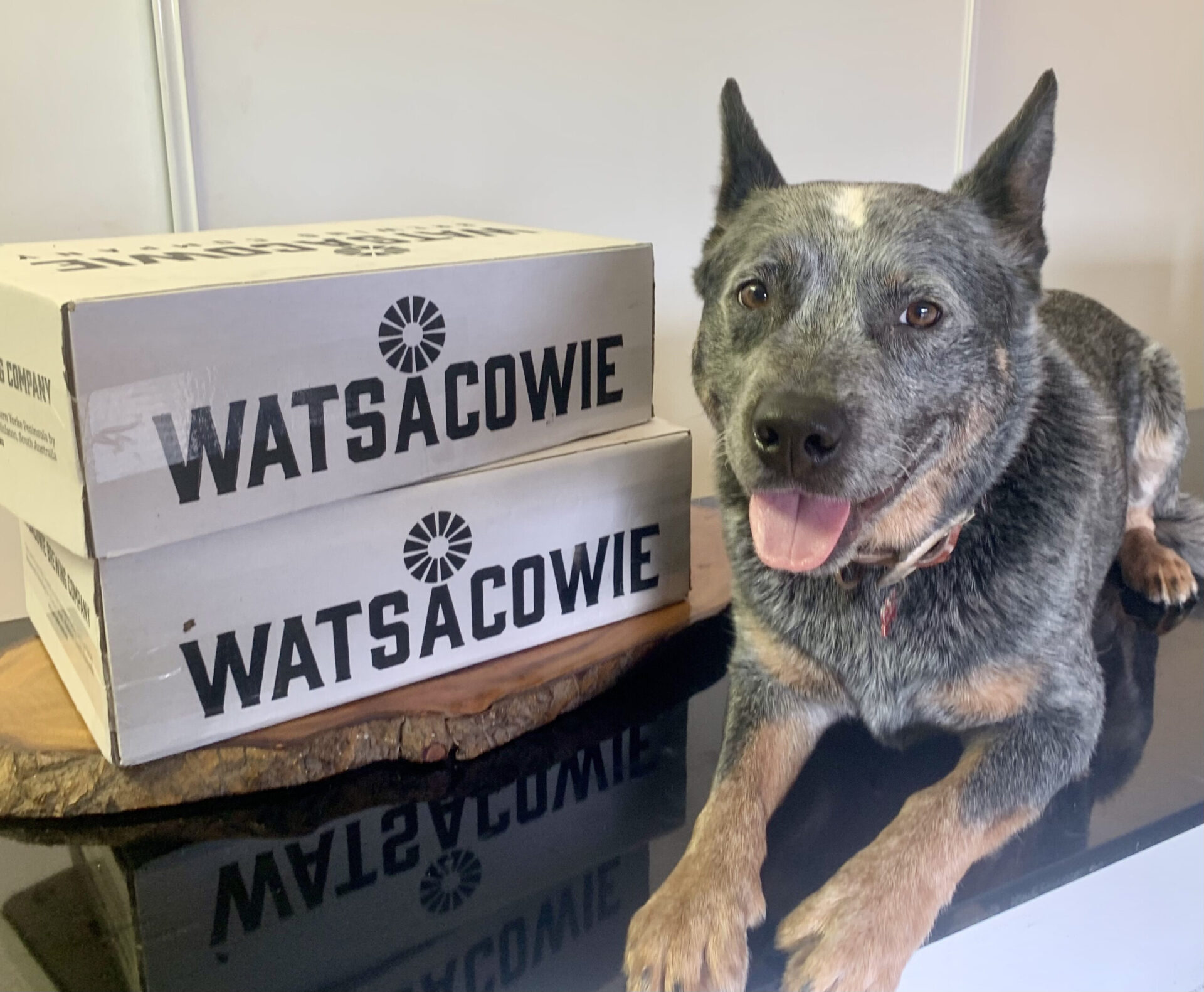Bowie the blue healer with a couple of cartons of Watsacowie