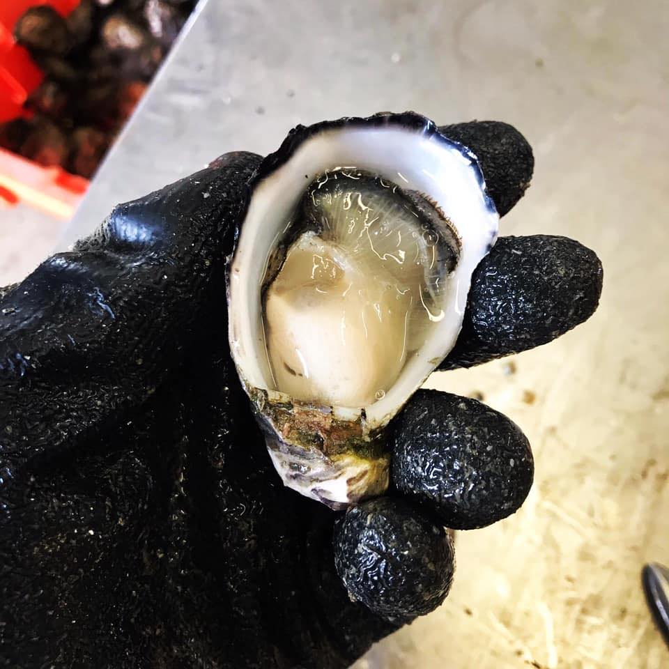Southern Yorkes Oysters